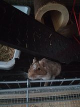 Degus 3 females with cage in Stuttgart, GE