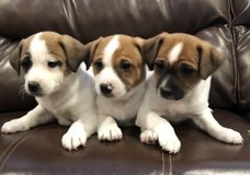 Pure bred jack russel pups in Camp Pendleton, California