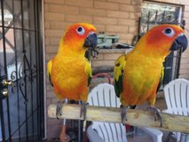 Two beautiful young Sun Conures (pair) - New parrot cage also available. in Alamogordo, New Mexico
