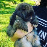 Holland Lop Rabbit in Kingwood, Texas