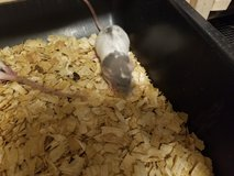 Weaned Rats available in Camp Lejeune, North Carolina