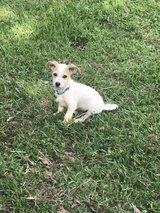 chihuahua schnauzer mix in Kingwood, Texas
