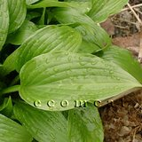 LANCIFOLIA Glossy Groundcover/Edging HOSTA in Bolingbrook, Illinois