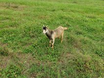 Lamancha Billy Goats in Fort Polk, Louisiana