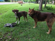 Dogs in need of a good home in Houston, Texas