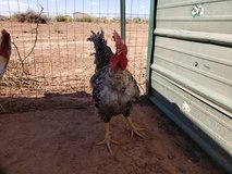 Turken rooster in Alamogordo, New Mexico