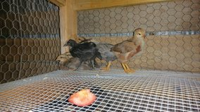 Baby Chicks in Warner Robins, Georgia
