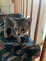 Free small cat in Fort Campbell, Kentucky