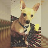 4 yr old Chihuahua in Fort Campbell, Kentucky