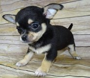 Chihuahua Pups AKC Applehead OFA & DNA Tested in Fort Riley, Kansas
