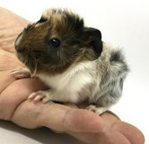 Guinea Pig many Types Pedigreed Held daily very nice in Fort Riley, Kansas