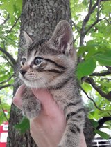 Free Kittens in Fort Leonard Wood, Missouri