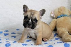 French Bulldog Puppy in Los Angeles, California