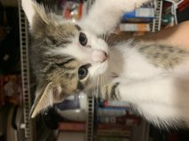 Free kittens to good home litter box trained and eating kitten food in Fort Campbell, Kentucky