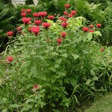 CAMBRIDGE SCARLET BEE BALM OSWEGO TEA, In Pots in Bolingbrook, Illinois