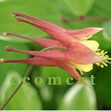 NATIVE WILD COLUMBINE - Salmon blooms- In Pots in Bolingbrook, Illinois
