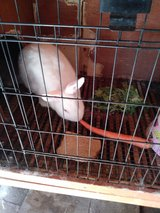 7 month old bunny girl with hutch in Fairfield, California