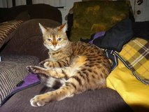 $500.00 REWARD!!! Stolen Female Snow BENGAL CAT 8 yrs. old! in Yucca Valley, California