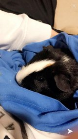 Guinea Pig in Great Lakes, Illinois