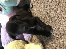 Lab puppies in Conroe, Texas