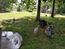 Turkeys in Fort Leonard Wood, Missouri