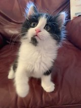 10 week old Long Haired make kitten in Westmont, Illinois