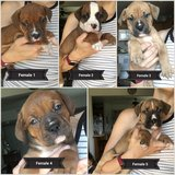 Boxer Staffordshire pups in Fort Leonard Wood, Missouri