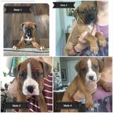 Boxer/Staffordshire pups in Fort Leonard Wood, Missouri