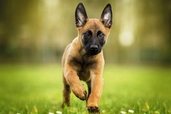 Malinois owners in Ramstein, Germany