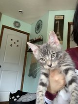 kitten available in Fort Leonard Wood, Missouri