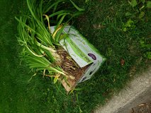 Free orange daylilies on curb in Glendale Heights, Illinois