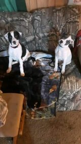 2 puppies in Fort Leonard Wood, Missouri