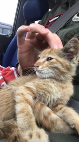 free kitten- treated for fleas and worms in Okinawa, Japan