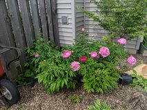 Peonies 1 in Glendale Heights, Illinois