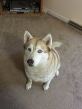 5-6 year old Nuetered Male Siberian Huskie in Fort Leonard Wood, Missouri