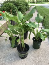 17th Annual Plant Sale - Hostas Tall in Orland Park, Illinois