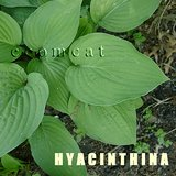 Large variety HOSTA HYACINTHINA, gray-green leaves in Bolingbrook, Illinois