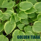 GOLDEN TIARA HOSTA potted plants in Glendale Heights, Illinois