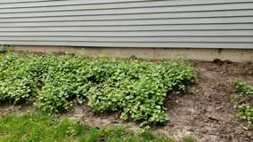 Archangel nettle groundcover- already dug up in Westmont, Illinois