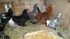 Young BANTAM hens some starting to lay! in Alamogordo, New Mexico