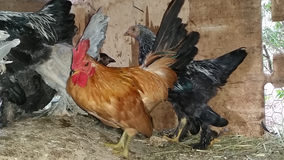 ROOSTERS, young and adults in Alamogordo, New Mexico