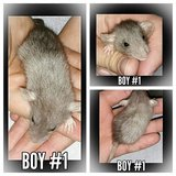 Rat Babies Available in Fort Campbell, Kentucky