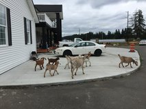 We have some extra GOATS FOR SALE - bring truck with canopy. in Fort Lewis, Washington