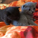 4 BSH Kittens looking for Lovely hands?? in Ramstein, Germany