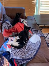 Kittens ready for forever homes in Chicago, Illinois