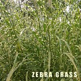 MISCANTHUS ORNAMENTAL GRASS - Tall Upright Zebra Porcupine in Bolingbrook, Illinois