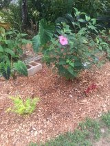 COLD HARDY HIBISCUS PLANTS FOR SALE in Warner Robins, Georgia