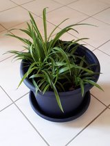 Spider plants in Ramstein, Germany
