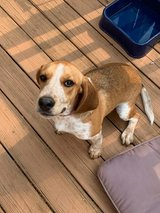 6 month old Female Beagle pup with cage etc in Fort Knox, Kentucky