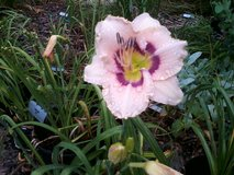 "Daylily, ""Huckleberry Candy"" in Byron, Georgia"